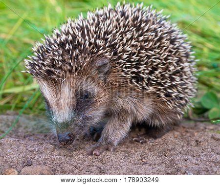 Hedgehog Baby Close Up