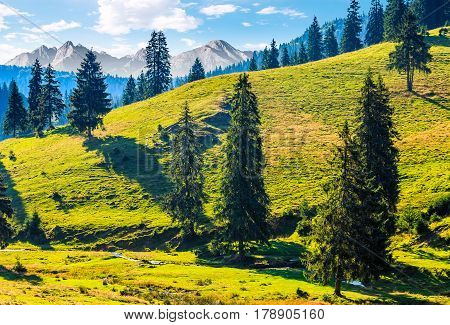 Spruce Forest On A Hill In High Tatras