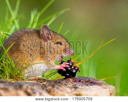 Wild Field Mouse Eating Blackberry On Log Sideview