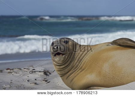 Southern Elephant Seal (Mirounga leonina) on a sandy beach on Sealion Island in the Falkland Islands.