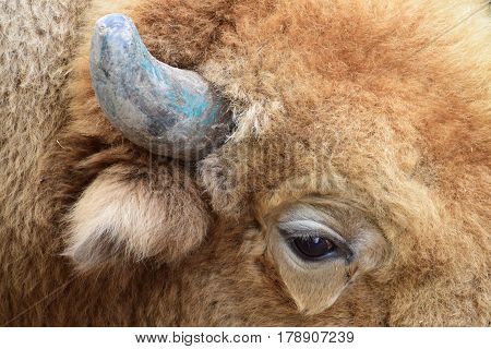 Close-up shoot of a large red bison, just a part of head, with one eye, ear and horn