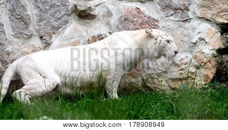 White lioness is lurking from the grass to attack something