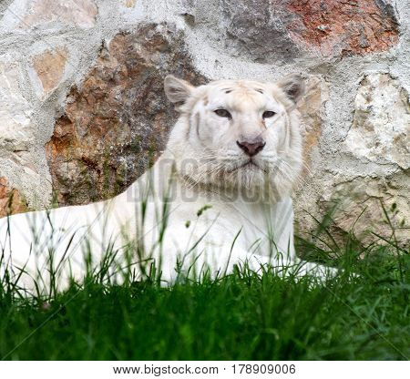 White lioness lies in the grass by the stone wall