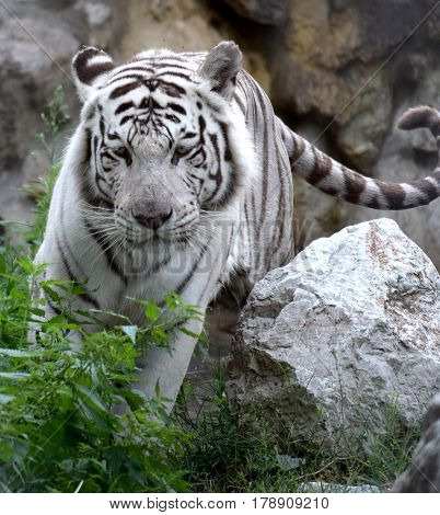 White Tiger lurking from his rocky shelter