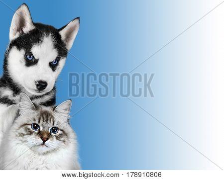 Cat and dog, neva masquerade, siberian husky looks at right on blue background.