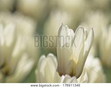 A Back Lit White Tulip