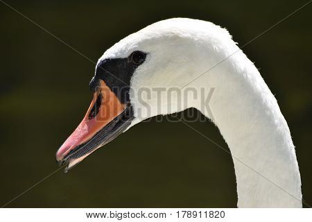 Portrait of a white swan, only the head and neck on the black background