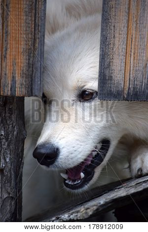 Portrait of a dog that pushes his snout through the boards of the wooden fence