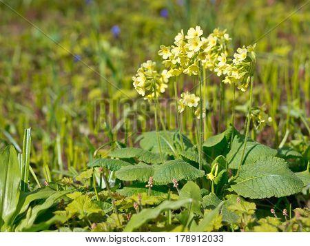 Blooming Primula