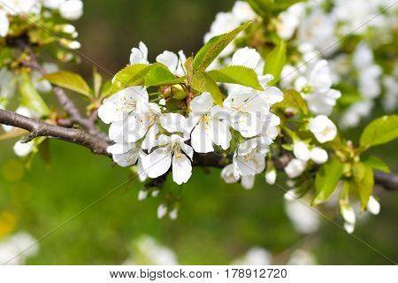 Beautiful White Cherry Flowers On The Branch, The Blue Sky In The Background