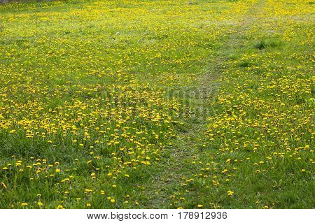 Green Meadow Of Sonchus Flowers. Path Road