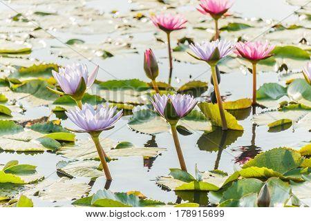 beauty purple lotus flower in pound .