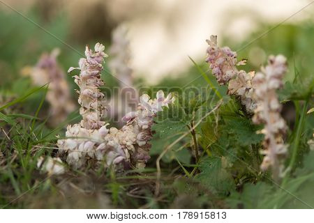 Toothwort (Lathraea squamaria) plant in flower. Group of parasitic plants with light pink flowers in the family Orobanchaceae infecting willow (Salix sp.)