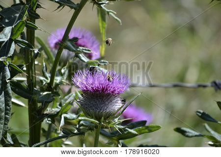 Purple flowers of burdock behind a stem of another burdock plant, photographed close up