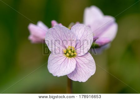 Cuckooflower or lady's smock (Cardamine pratensis) flower. Perennial plant in the cabbage family (Brassicaceae) flowering in Spring in the UK