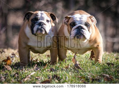 two female bulldogs outside in the grass looking at viewer