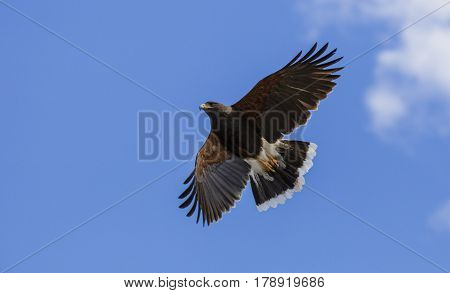 Harris Hawk soaring high in the sky searching for food