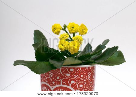yeallow kalanchoe  flowers potted plant for home