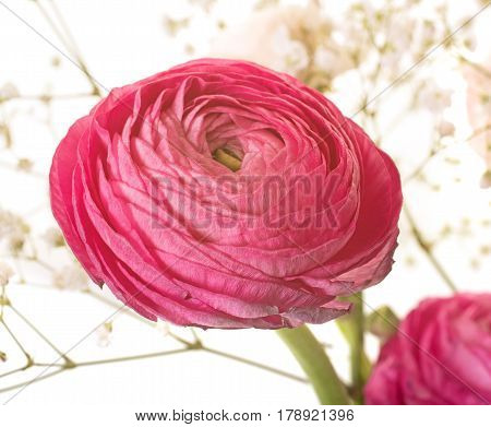 pink Ranunculus asiaticus in front of white background