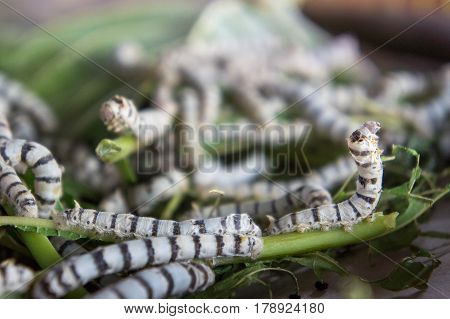silk worm eating mulberry leaf (focus silk worm) worm larvae