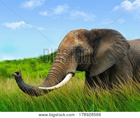 Elephant in safari. African elephant in the wild. Big elephant in Africa. Elephant in Zimbabwe. Elephant portrait. Friendly elephant. Male african  elephant. Elephant in the bush.