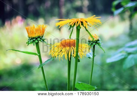 Yellow flowers of medicinal plant elecampane (Inula helenium) or horse-heal in bloom closeup. Selective soft focus.