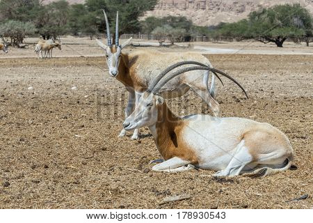 Sahara scimitar Oryx (Oryx leucoryx). Due to danger of extinction, the species was introduced and adopted in nature reserve near Eilat, Israel