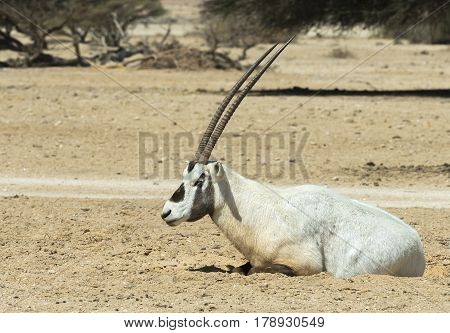 The antelope Arabian oryx (Oryx dammah) inhabits the Israeli nature reserve because this species is in danger of extinction in its native environment of Sahara desert poster