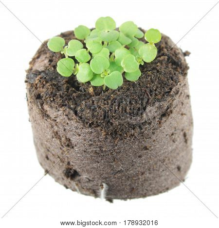 Seedling of balm mint (Melissa officinalis) with two green cotyledon and true leaves in clod of soil isolated on white background