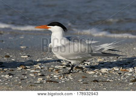 A Royal Tern, Thalasseus maximus with wings moving into breeding position on a beach in Florida