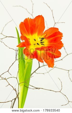Close up of orange parrot tulip flower stem and leaves with finely branched twigs.