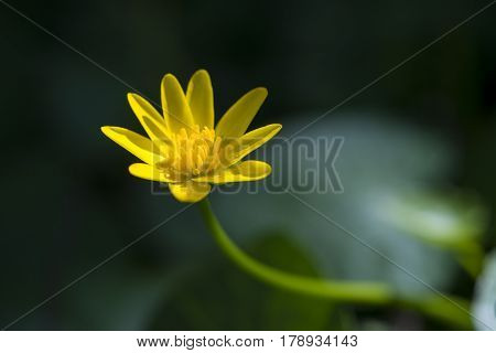 Lesser Celandine (Ranunculus ficaria) one flower flowering in an Arboretum