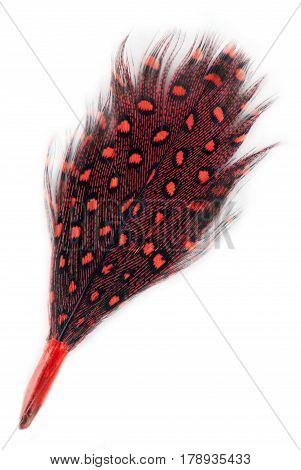 red feather covert plumage isolated on white
