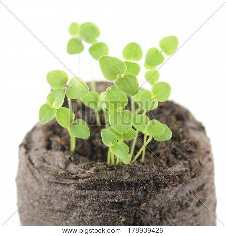 Five-day snapdragon seedling isolated on white background