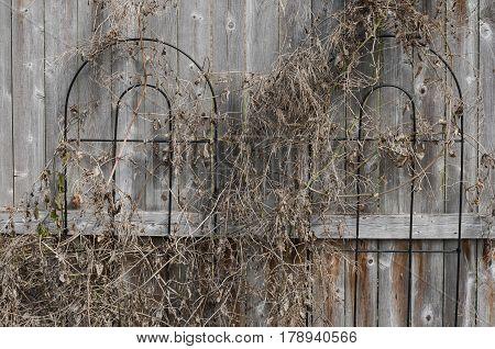 Aged weathered wooden fence festooned with dead vine tendrils on black metal trellis.