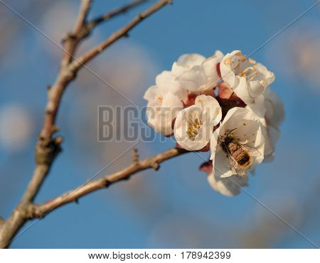 Peach flowers blooming with bee