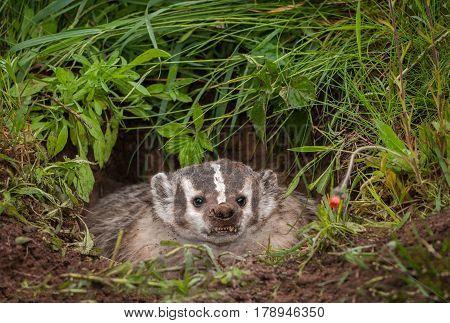 North American Badger (Taxidea taxus) Bares Teeth - captive animal