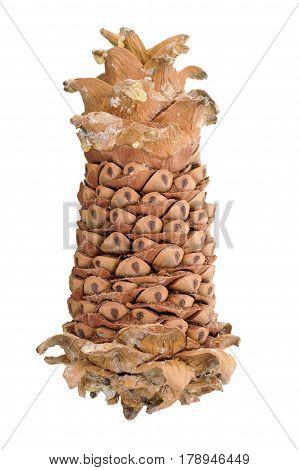 Cedar pine nuts. Cones of a Manchurian cedar (Korean pine). Ripe resinous cones.