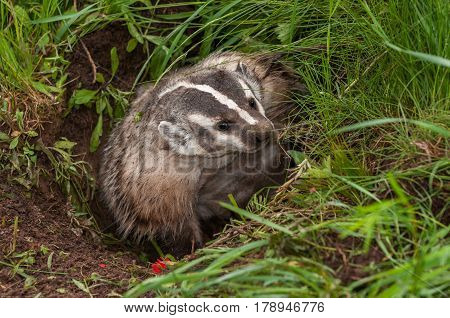 North American Badger (Taxidea taxus) Digs to Side in Den - captive animal