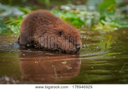 North American Beaver Kit (Castor canadensis) Reflected in Water - captive animal
