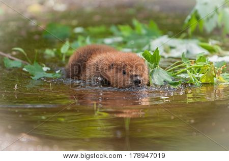 North American Beaver Kit (Castor canadensis) Flattens Out in Water - captive animal