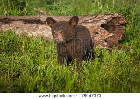 Black Bear Cub (Ursus americanus) Stands Near Log - captive animal