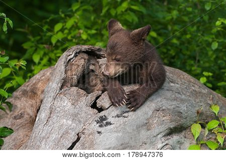 Black Bear Cub (Ursus americanus) Appears to Pray in Log - captive animal