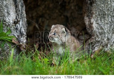 Canada Lynx (Lynx canadensis) Kitten Looks Left in Hollow Tree - captive animal