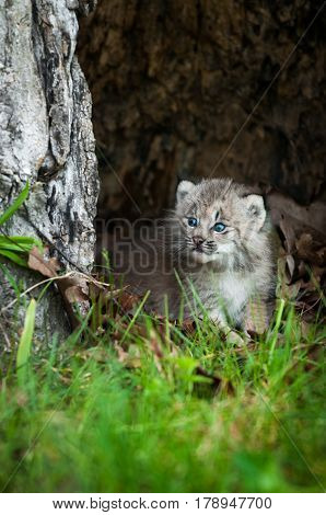 Canada Lynx (Lynx canadensis) Kitten Looks Left From Hollow Tree - captive animal