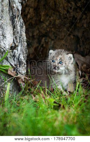 Canada Lynx (Lynx canadensis) Kitten Looks Left From Hollow Tree - captive animal