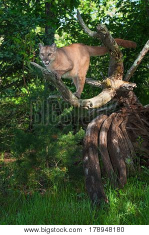 Adult Female Cougar (Puma concolor) Preps to Jump Down - captive animal