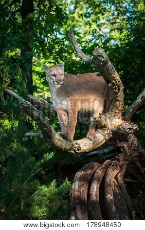 Adult Female Cougar (Puma concolor) One Ear Back - captive animal