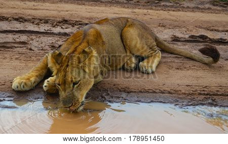Lioness. Lioness drinking water. Lioness close-up. Beautiful lioness. Zimbabwe. Lion park. Meet lions. Wild lioness. Wildlife. Panthera leo. Safari with lions. Lioness lying. Two year old lioness.
