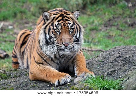 Closeup of a Sumatran Tiger relaxing at the zoo